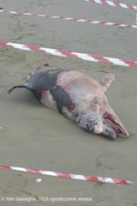 Bibione delfino spiaggiato ottobre 2013